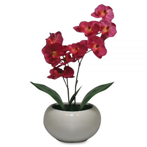 First Base Elementals Moth Orchid Fuchsia Plant